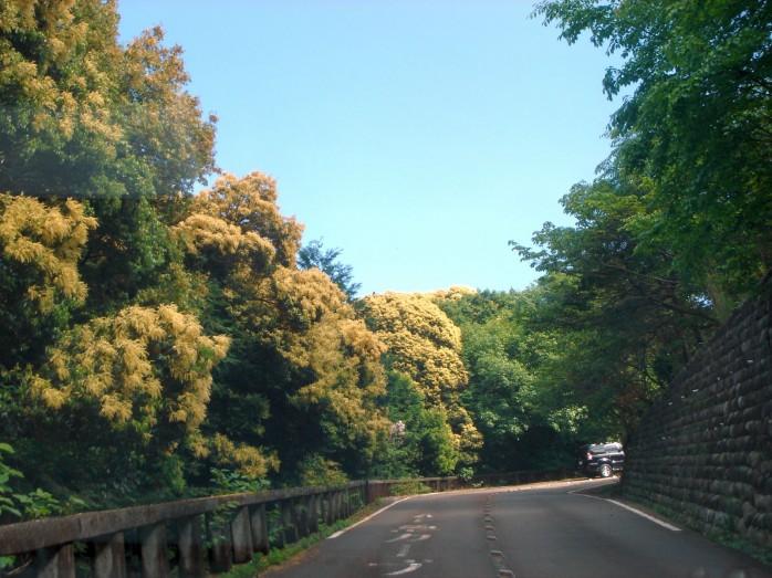 05 金華山に咲くツブラジイの花(ウィキペディアよりダウンロード)