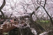09 高遠城址公園_桜雲橋