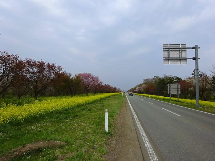 05 桜並木と菜の花ロード