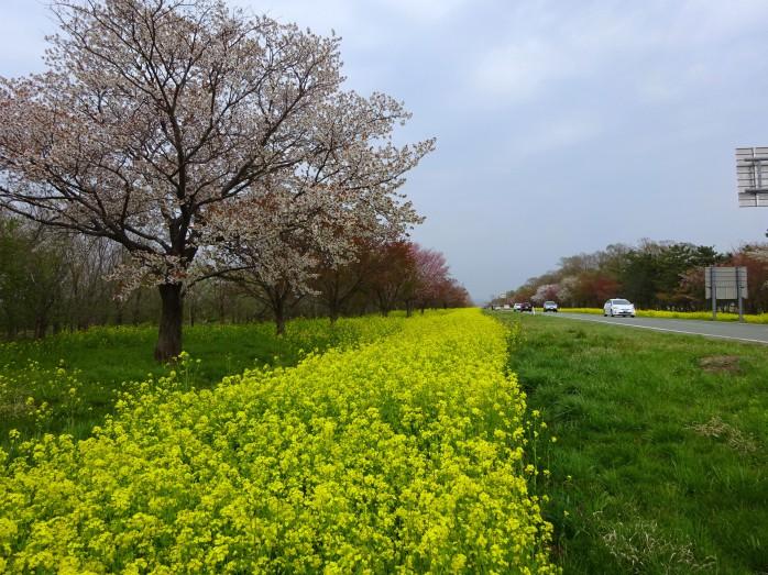 06 桜並木と菜の花ロード