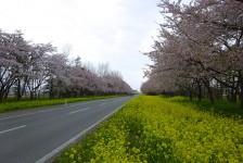 04 桜並木と菜の花ロロード